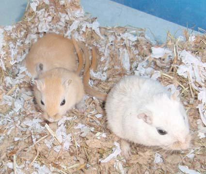 hvem fandt først hamster