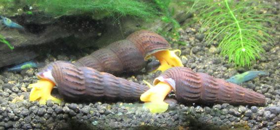 hvad spiser en snegl